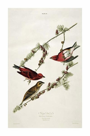 "John James Audubon Fine Art Open Edition Giclée:""Purple Finch"""