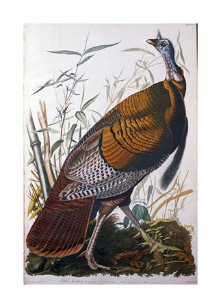 "John James Audubon Fine Art Open Edition Giclée:""Wild Turkey, Male"""