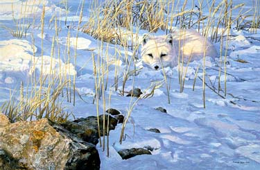 "John Seerey – Lester Limited Edition Print:""Lying In Wait - Arctic Fox"""