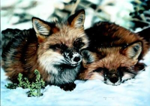 "Lesley Harrison Handsigned & Numbered Limited Edition Print:""winter Nap"""