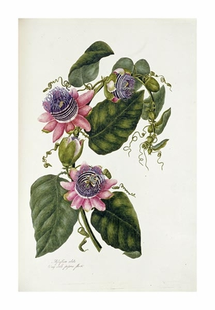 """Mary Lawrence Fine Art Open Edition Giclée:""""Passion Flowers"""""""