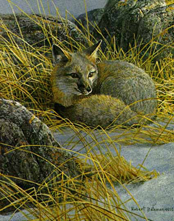 "Robert Bateman Limited Edition Paper Print:""Curled Up-Swift Fox"""