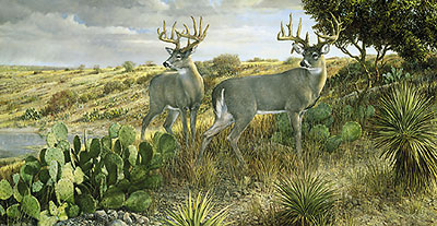 "Ron Van Gilder Limited Edition Print:""Cactus Country-Whitetail Deer"""