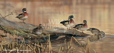 "Scot Storm Hand Signed and Numbered Limited Edition: ""Resting Place-Wood Ducks"""