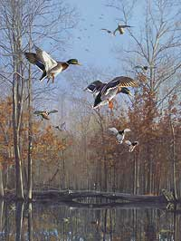 "Scot Storm Handsigned and Numbered Limited Edition Print:  ""Green Timber Mallards"""