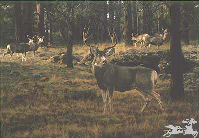 """Tim Cox Hand Signed and Numbered Limited Edition Artist Proof Print:""""Blue River Muley"""""""