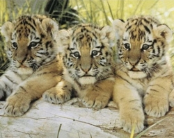 Tiger Cub Family - click to enlarge
