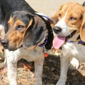 buy discount  Beagle Hunting and Training Supplies