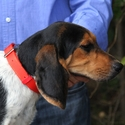 buy discount  Beagle wearing a Treated Nylon Collar