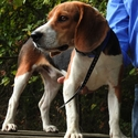 buy discount  Beagle wearing an SD 3225 Collar