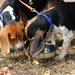 Beagles using a Durapet Dog Bowl