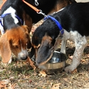 buy discount  Beagles using a Durapet Dog Bowl