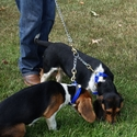 buy discount  Beagles with Chain Coupler