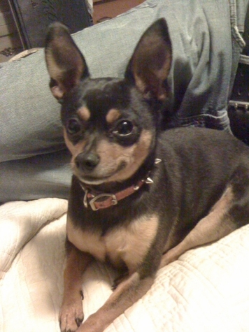 Ben's Dog Zoe (Miniature Pinscher)