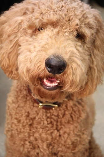 Chad's Dog Mowgli (Goldendoodle)