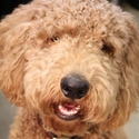 buy discount  Chad's Dog Mowgli (Goldendoodle)