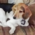 buy discount  Christy's Dog Champ (Beagle)