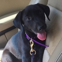 buy discount  Courtney's Dog Delta (Labrador Retriever)