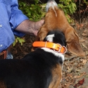 buy discount  Day Glow D-End Collar on a Beagle