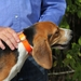 Day Glow D-End Collar on a Beagle