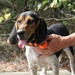 Garmin Astro T5 Collar on a Beagle