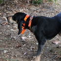 buy discount  Garmin Astro T5 Collar on a Hound