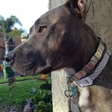 buy discount  Neck-Tech Martingale Collar in Use