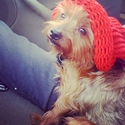 buy discount  Nikki's Dog Oso (Yorkie)