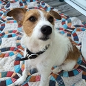 buy discount  Nikki's Dog Stella (Jack Russell Terrier)