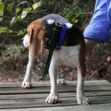 buy discount  PRO Collar on a Beagle