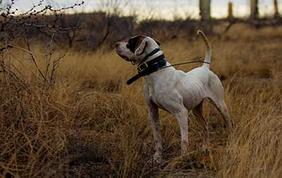 Hunting Dog Supplies For Bird Dogs Retrievers Amp More
