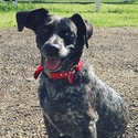 buy discount  Simon's Dog June (Blue Heeler / Beagle Mix)