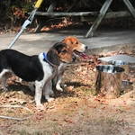 shop Thirsty Beagles using Flat Sided Water Buckets