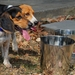 Thirsty Beagles using Flat Sided Water Buckets