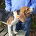 Tufflex Center-Ring Collar on a Beagle