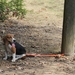 TufFlex Chain Tree Lead on a Beagle attached to a pole