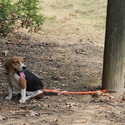 buy discount  TufFlex Chain Tree Lead on a Beagle attached to a pole
