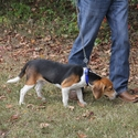 buy discount  TufFlex Chain Tree Lead on a Beagle as Snap Lead