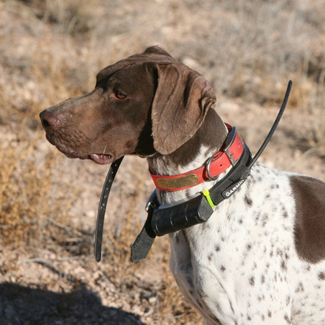Vernon's Dog Richard (GSP)