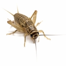 "Timberline Crickets 1/8"" (500 count)"