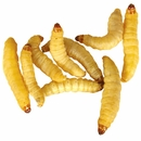 Timberline Wax Worms (1000 count)