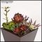 12in. Aeonium Plant - Rust/Brown|Indoor