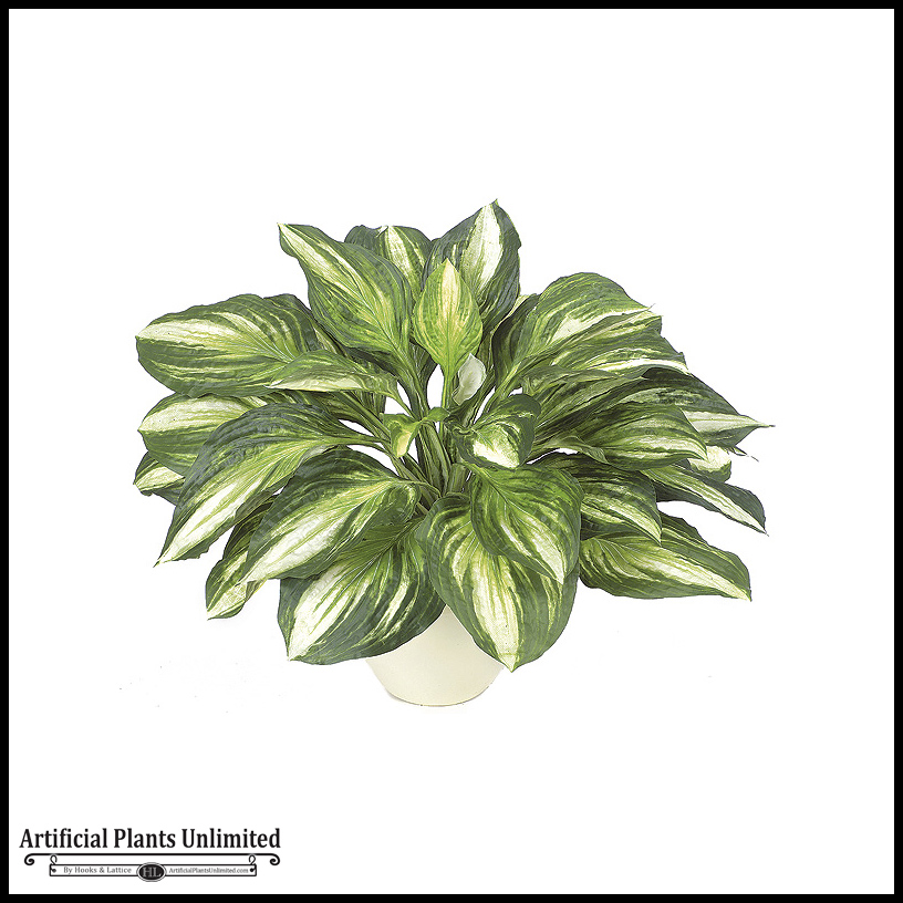 17in hosta plant green white indoor for Indoor green plants images