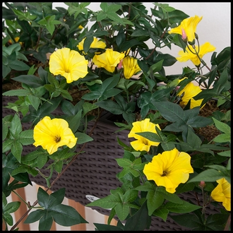 26in. Morning Glory Vine, Indoor Rated - Yellow