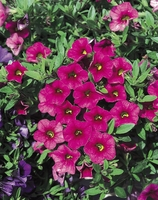 4/Pk. Box - Million Bells Cherry Pink