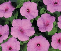 4/Pk. Box - Supertunia Cotton Candy