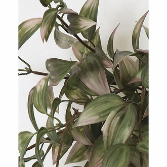 "50"" Wandering Jew - Green/Cream 