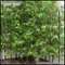 6'H Bamboo Forest Sold by the Square Foot, Outdoor