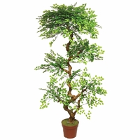6' Maidenhair Bonsai Tree, Outdoor Rated
