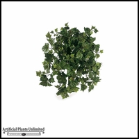 26in. Or 42in. Algerian Ivy Bush